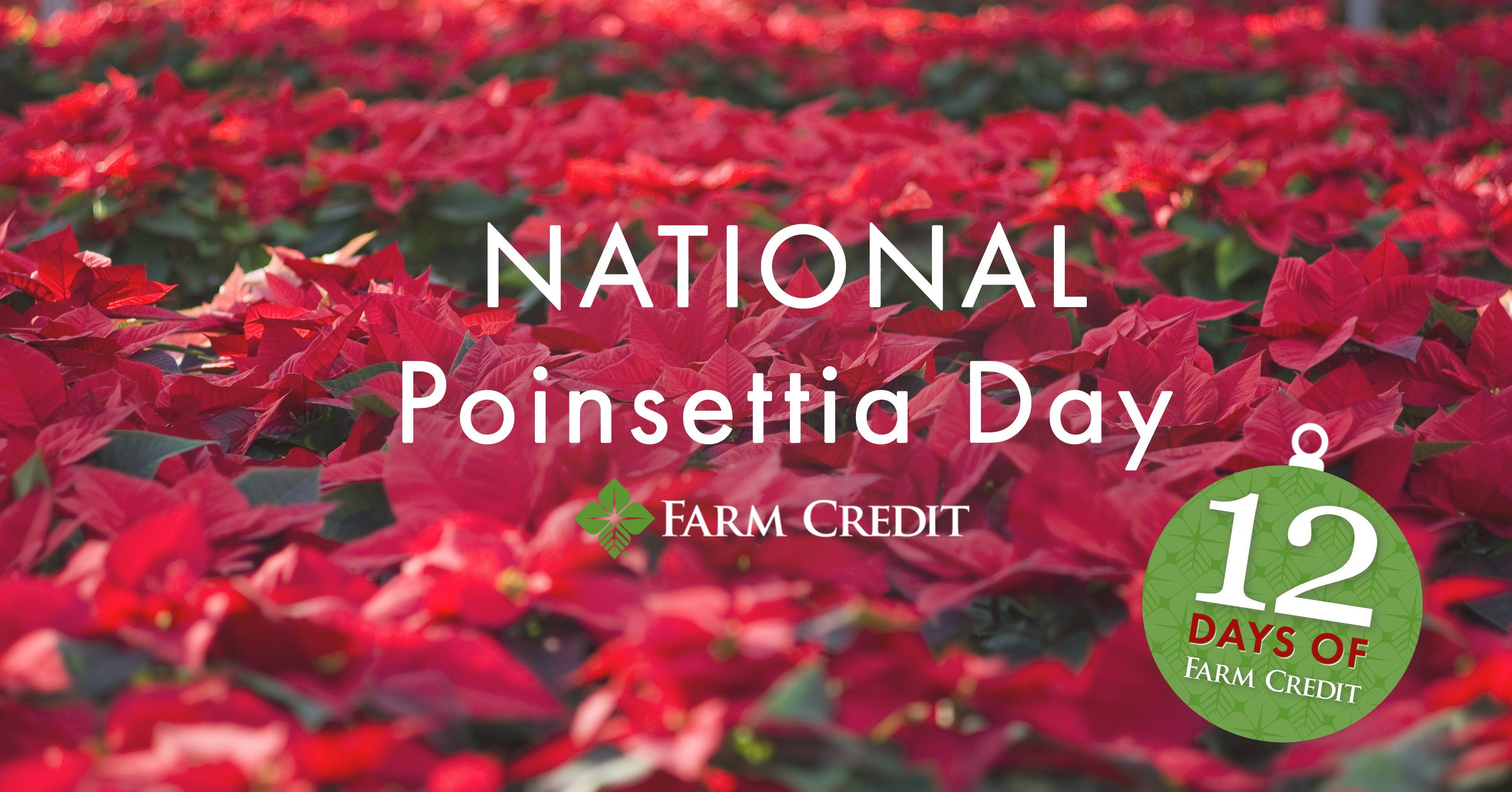 poinsettia's in nursery graphic text on screen national poinsettia month